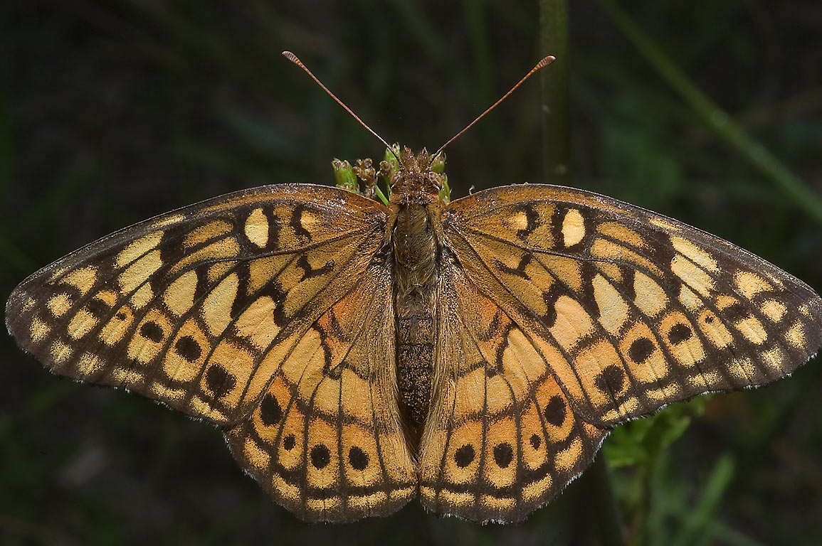 Variegated Fritillary (Euptoieta claudia...State Historic Site. Washington, Texas