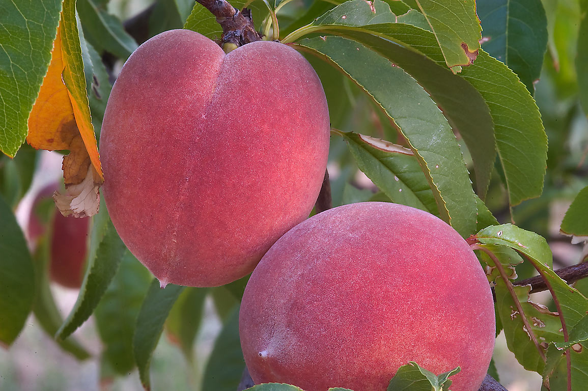 Fruits of peach in TAMU Holistic Garden in Texas...M University. College Station, Texas