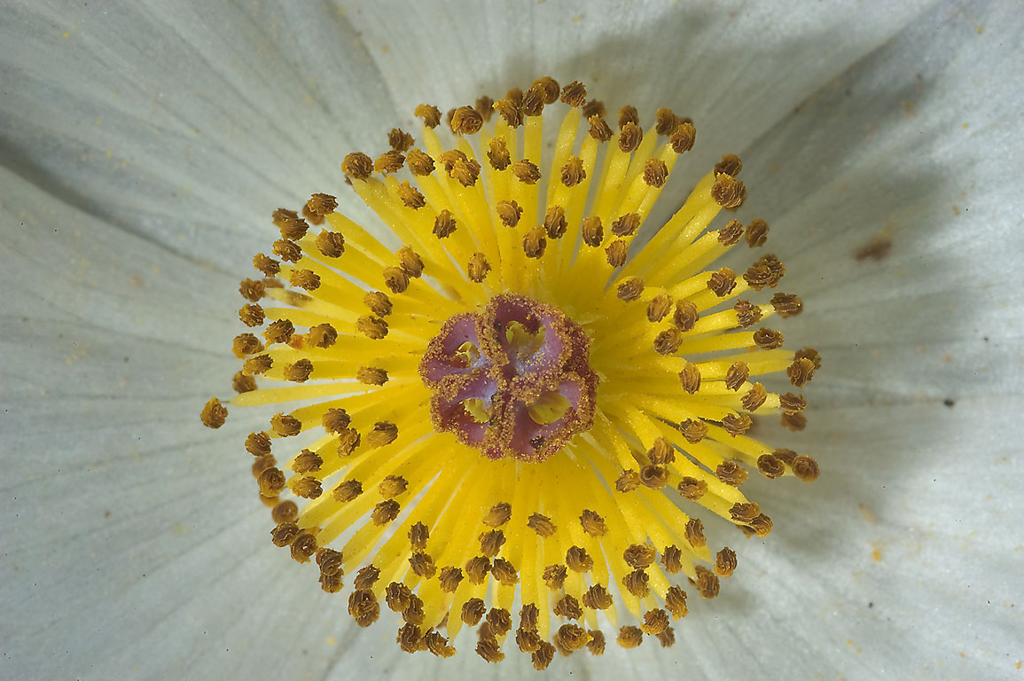Stamens of white prickly poppy (Argemone...near Sugarloaf Mountain. Gause, Texas
