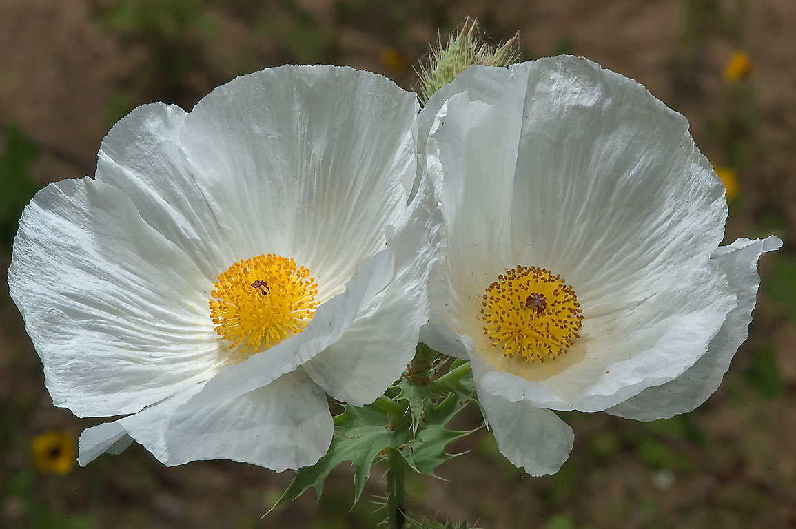 White Poppy Search In Pictures