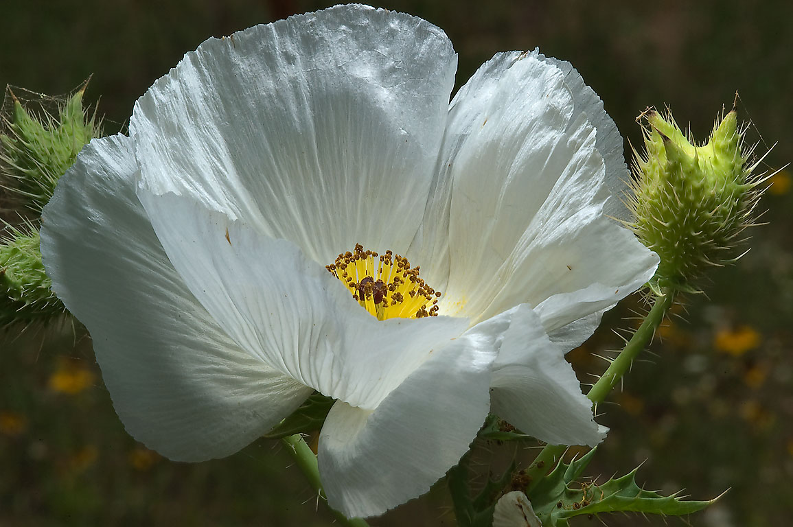 Flower of white prickly poppy (Argemone albiflora...near Sugarloaf Mountain. Gause, Texas