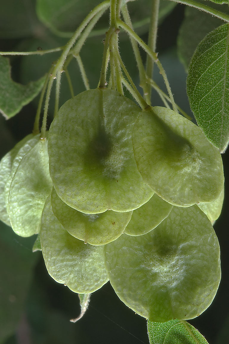 Distinctive fruits of Common hoptree (Ptelea...near Sugarloaf Mountain. Gause, Texas