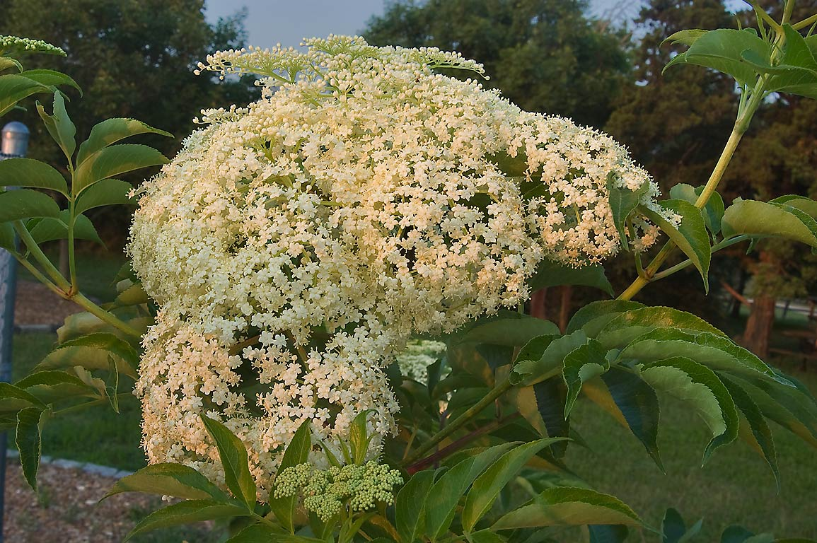 Flowers of common elderberry (American Elder...M University. College Station, Texas