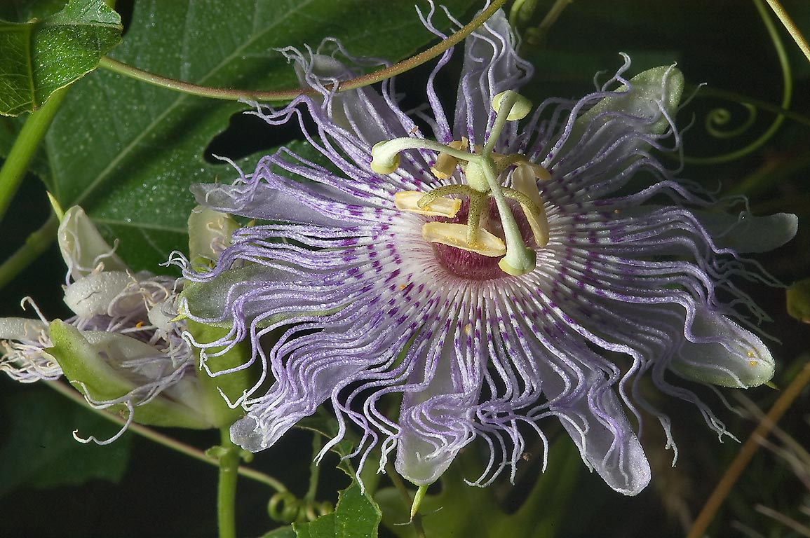 865 21 Blooming Passion flower maypop Passiflora Creek Park Colle