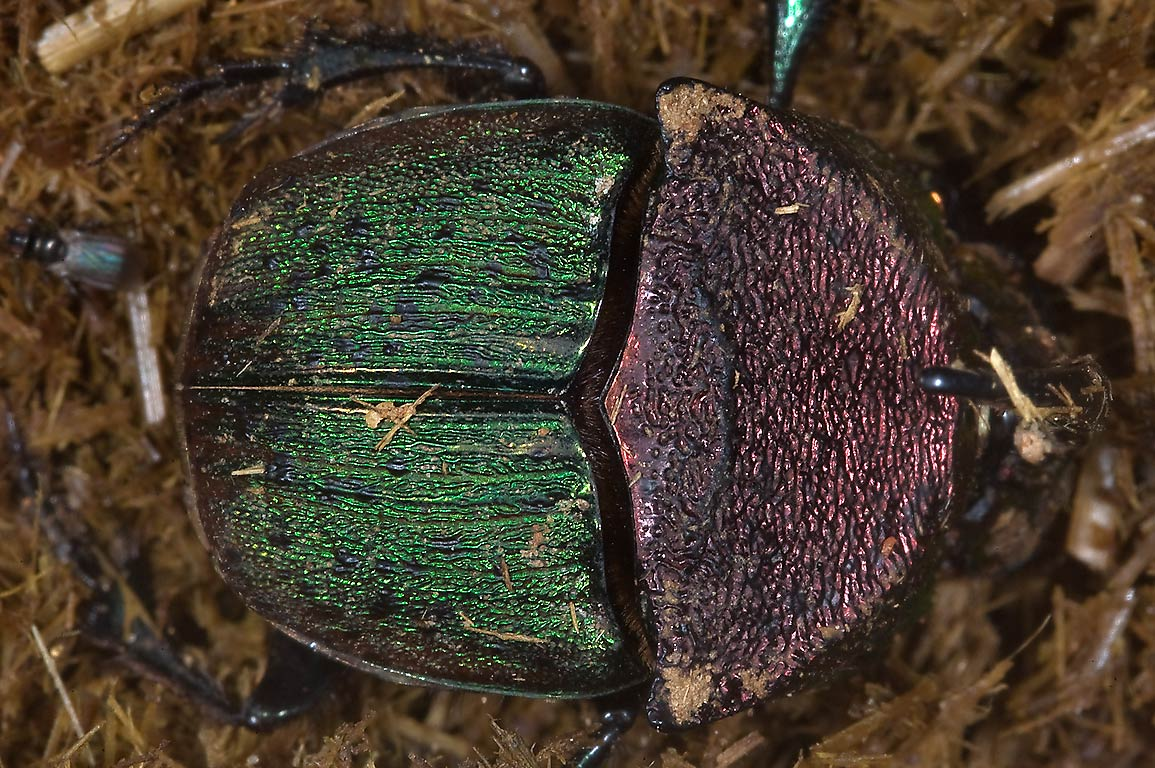Rainbow scarab (Phanaeus vindex, male, horned...Creek Park. College Station, Texas