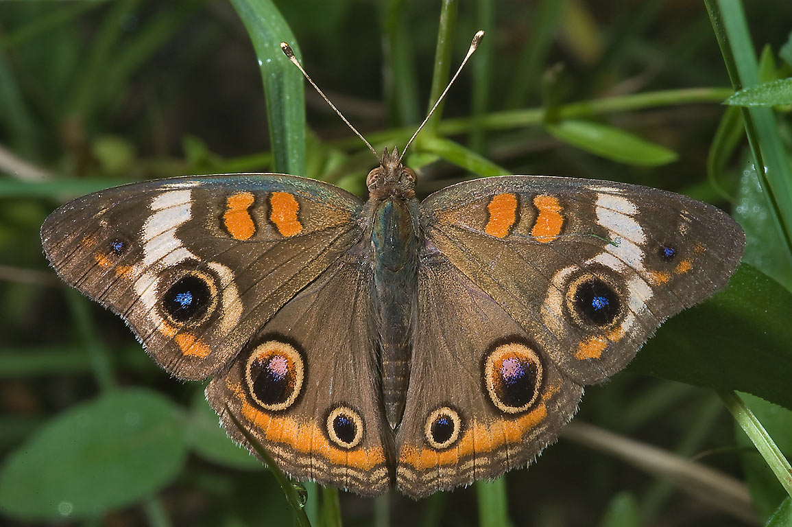 Common Buckeye butterfly (Junonia coenia) in Lake Bryan Park. Bryan, Texas
