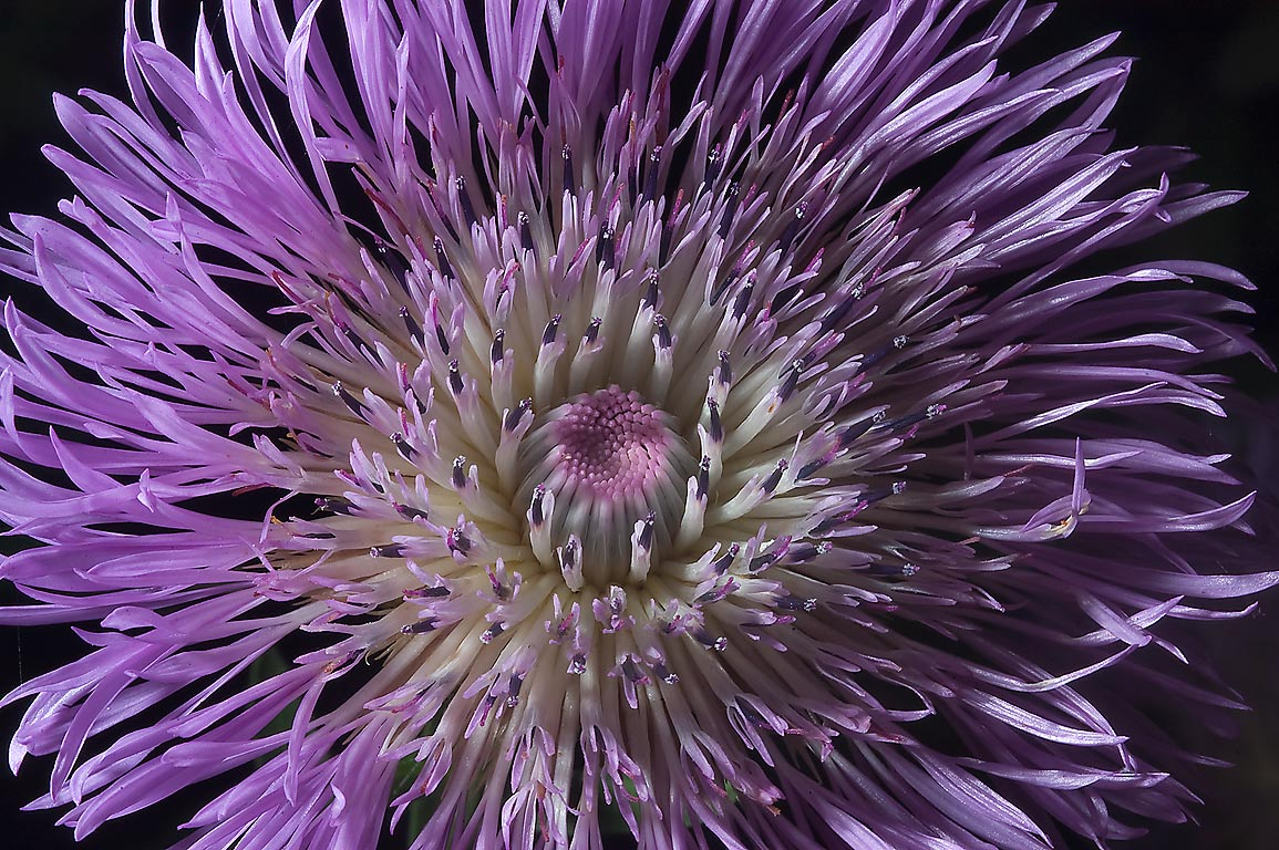 Close up of American basket flower (Centaurea...M University. College Station, Texas