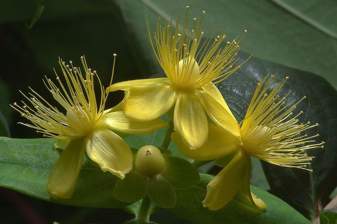 St. John's Wort (Hypericum) in Antique Rose Emporium. Independence, Texas