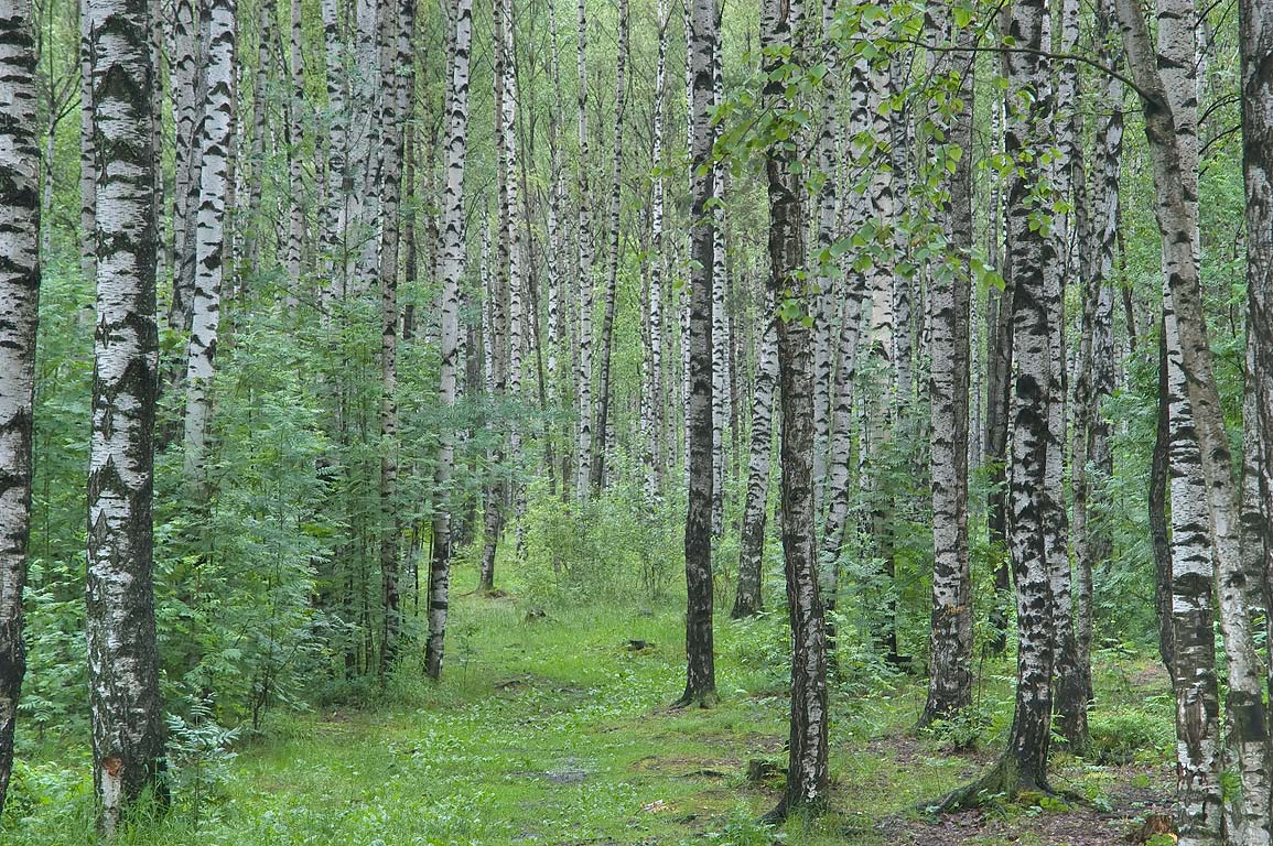 Birch trees - search i...