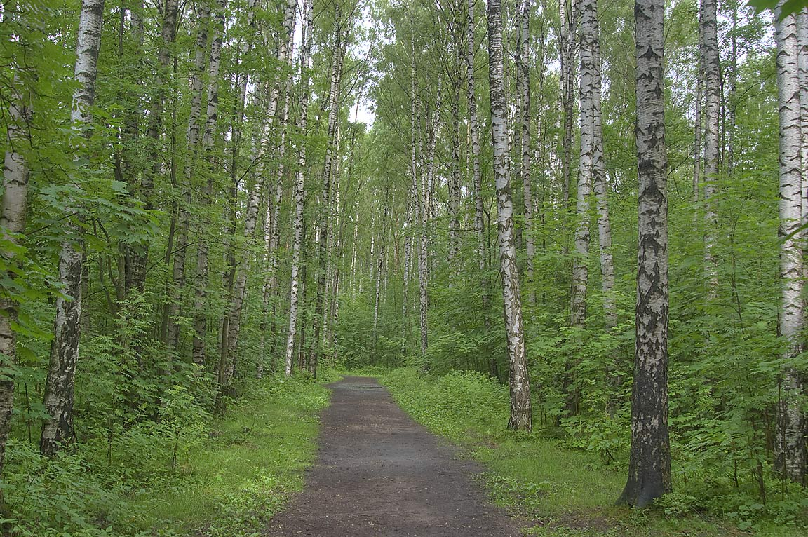 Birch forest in Sosnovka Park in St.Petersburg, Russia