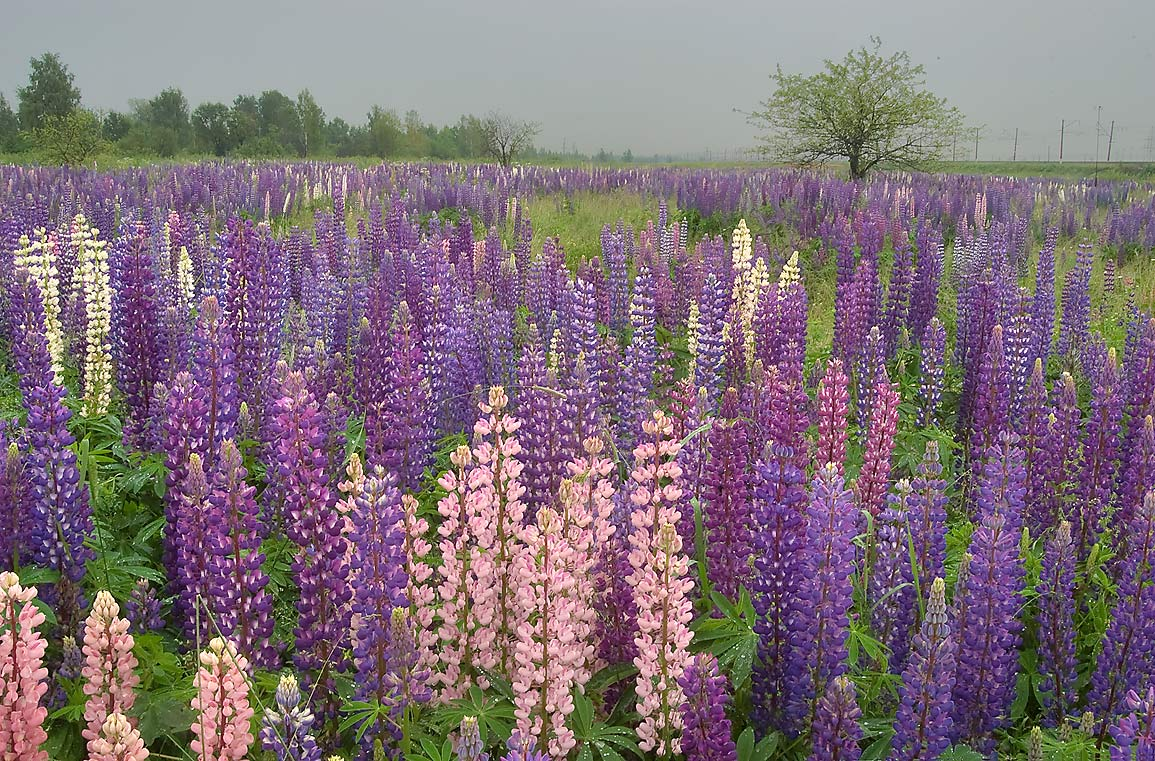 Field of lupin near railroad in Shushary, south from St.Petersburg, Russia