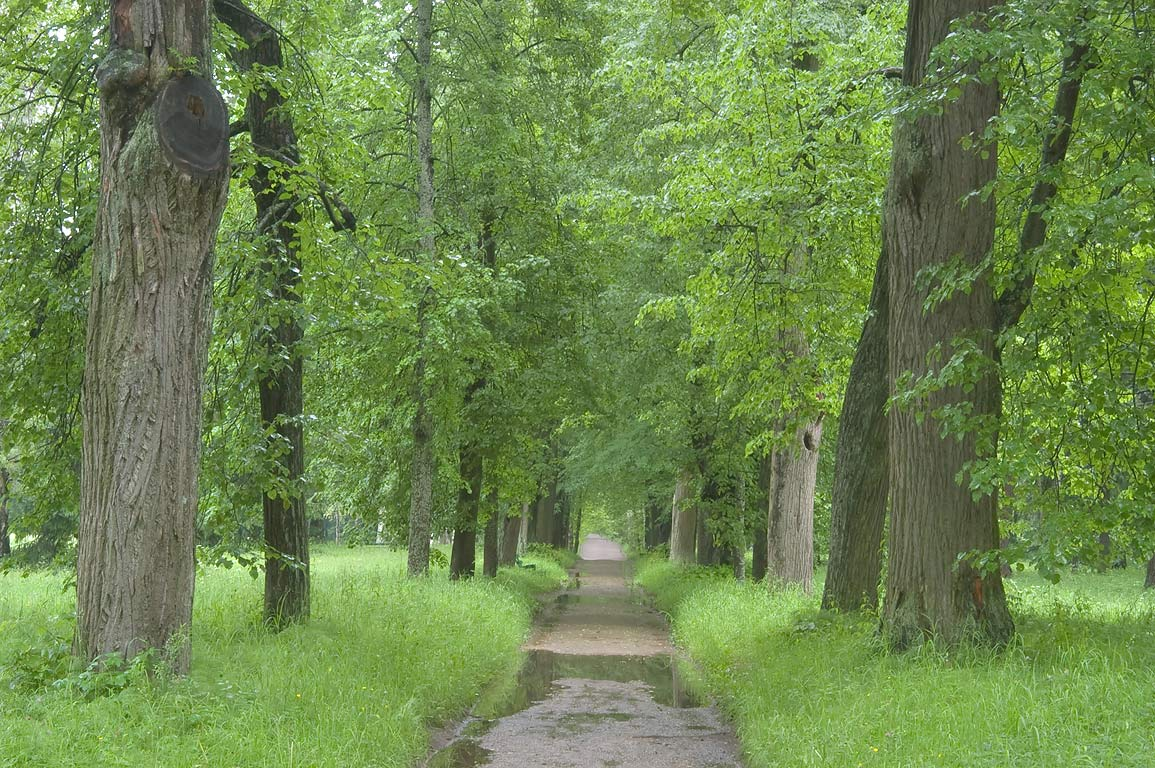 Linden alley in Pavlovsk Park, south from St.Petersburg, Russia