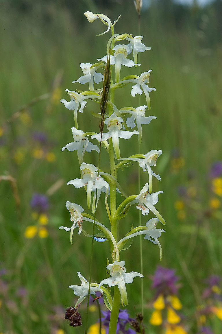 Lesser Butterfly-orchid (Platanthera bifolia...Park, south from St.Petersburg, Russia
