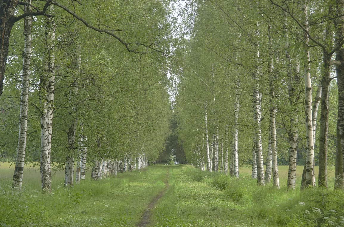 Birch alley in far end of Pavlovsk Park, south from St.Petersburg, Russia