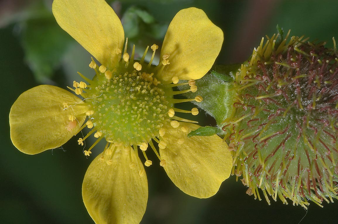 Yellow flower of wood avens (Colewort, Geum...Sosnovka Park in St.Petersburg. Russia