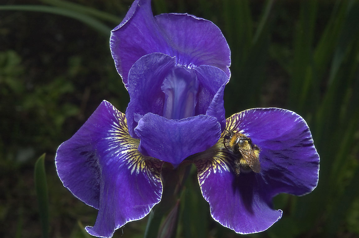 Blue iris in Botanic Gardens of Komarov Botanical Institute. St.Petersburg, Russia