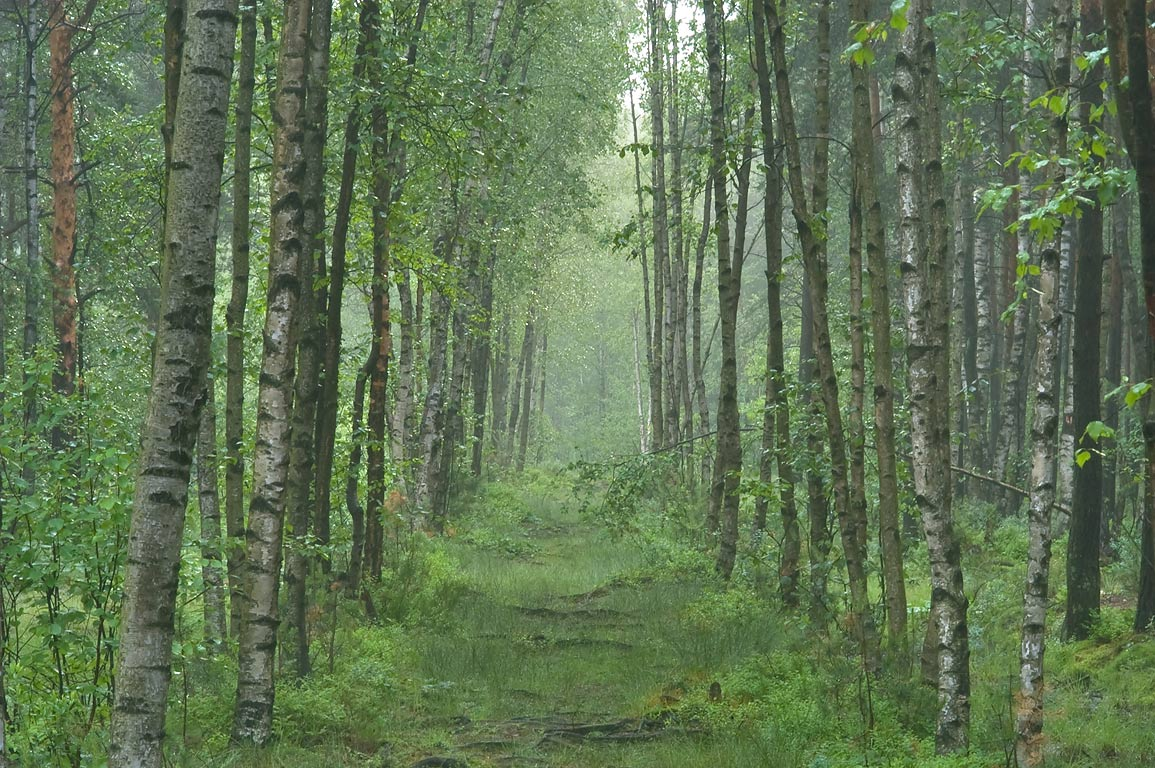 Alley in swamp area of Sosnovka Park in fog. St.Petersburg, Russia