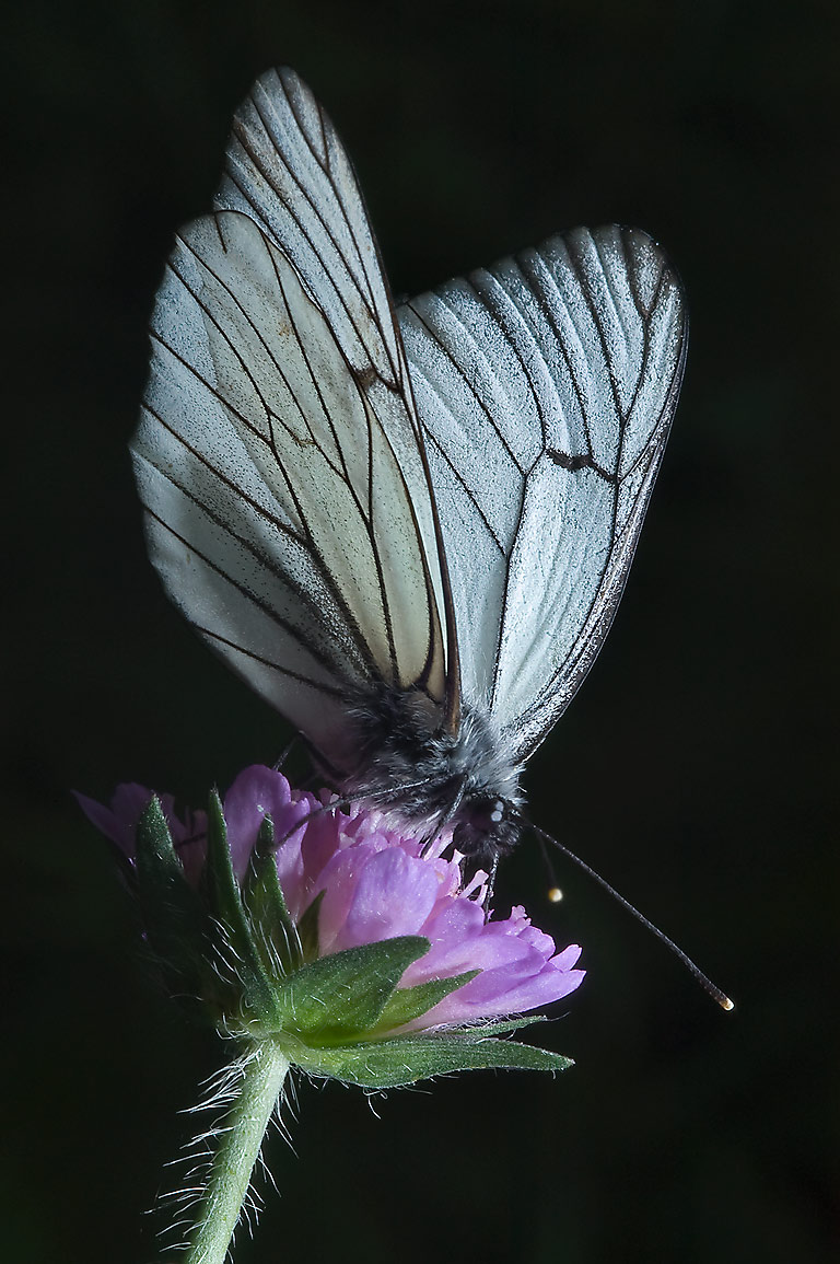 Black-veined white butterfly (Aporia crataegi...south from St.Petersburg, Russia