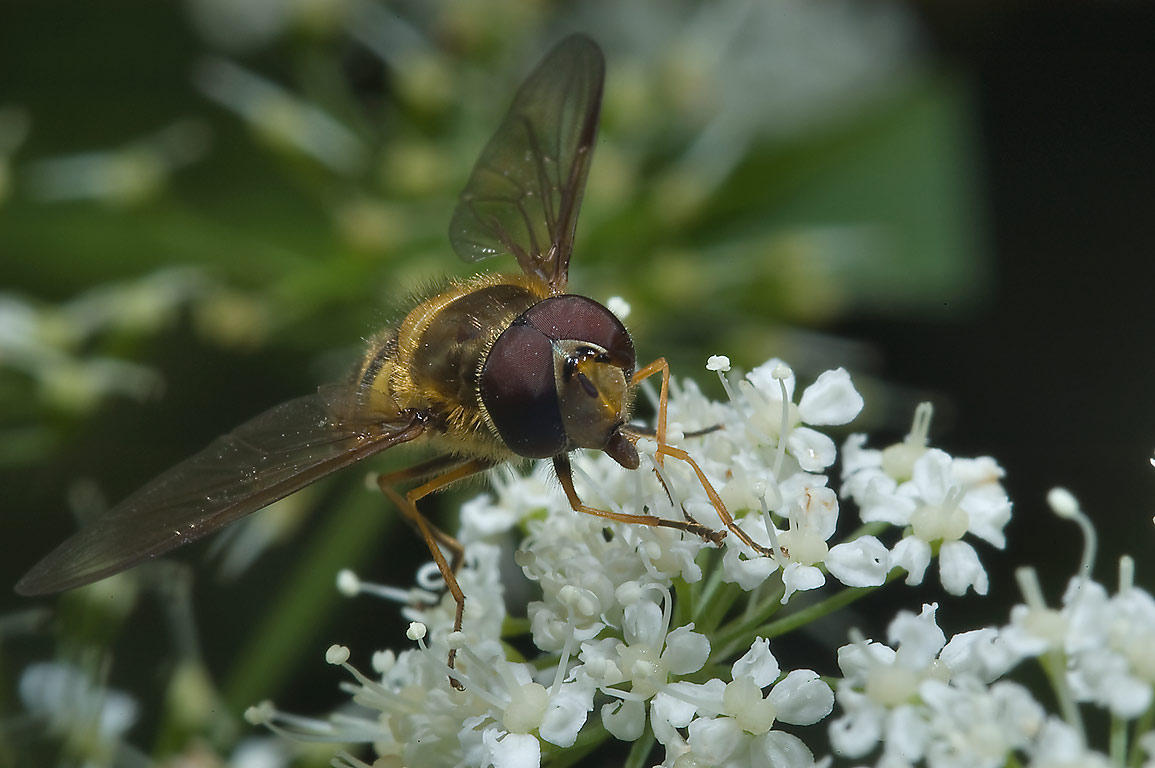 Hoverfly (Syrphidae) on an umbel inflorescence...south from St.Petersburg, Russia