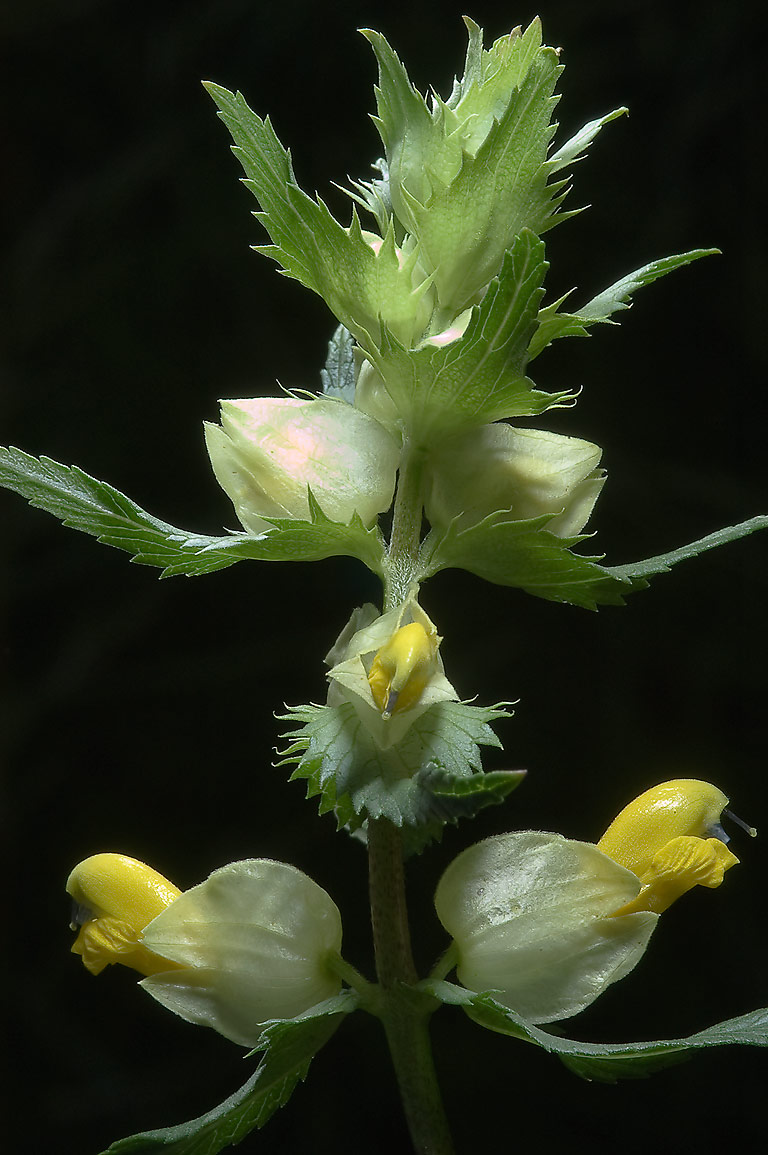 Meadow flower of Yellow Rattle (Cockscomb...south from St.Petersburg, Russia