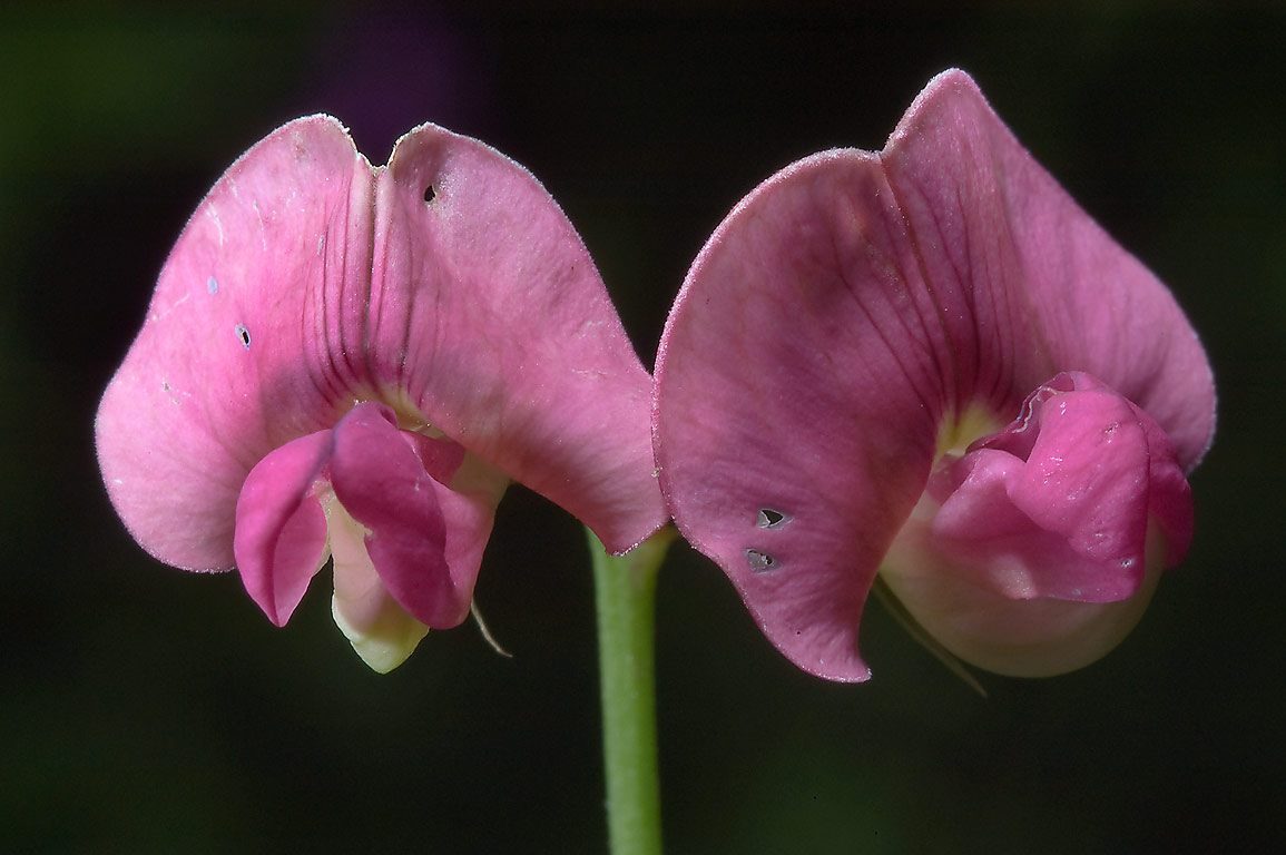 Pink flowers of Marsh pea (Lathyrus palustris...south from St.Petersburg, Russia