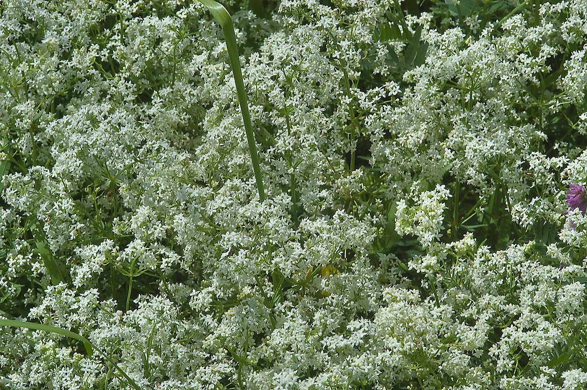 Masses of white flowers of Upright bedstraw...south from St.Petersburg, Russia