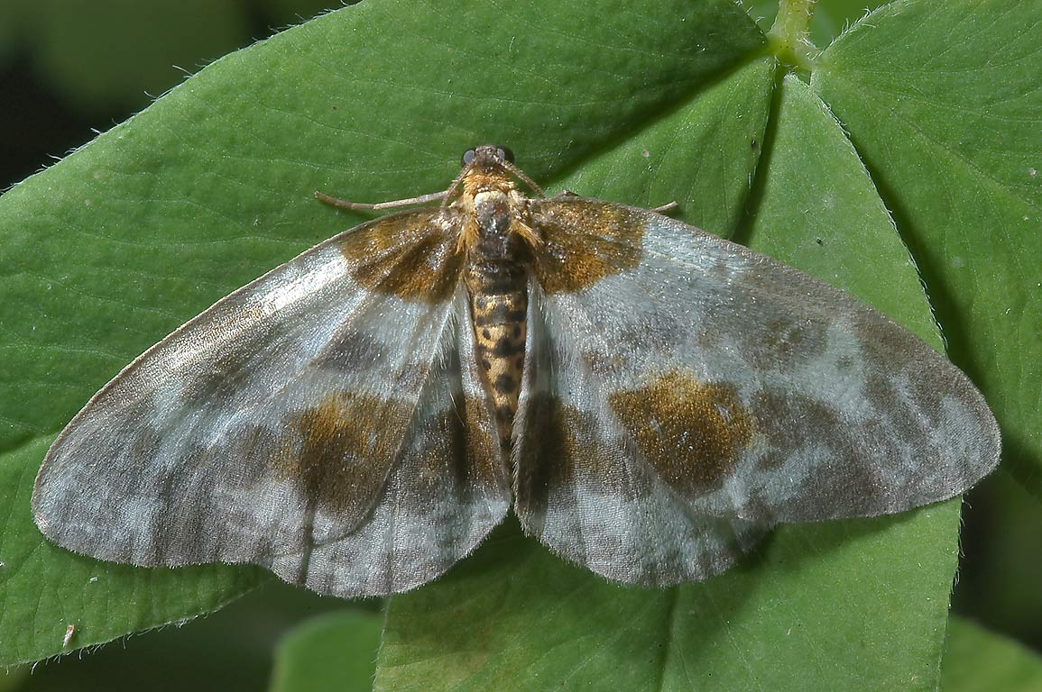 Some grey moth near Zapliusye in Pskov Region south from St.Petersburg, Russia