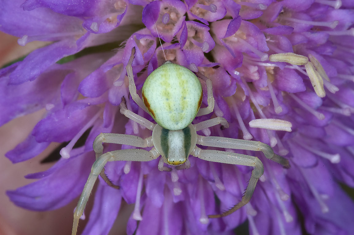 Crab spider on a flower of scabiosa near...south from St.Petersburg, Russia