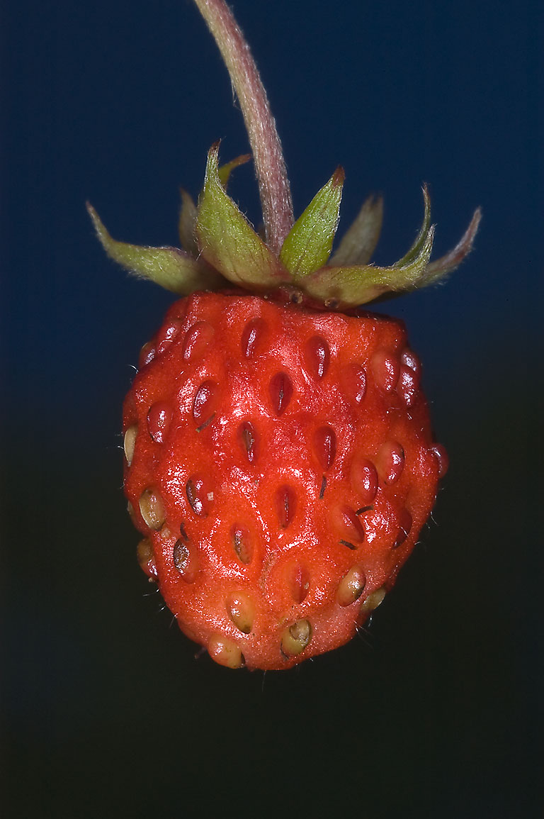 Fruit of Wild Strawberry (Fragaria, Russian name...south from St.Petersburg, Russia