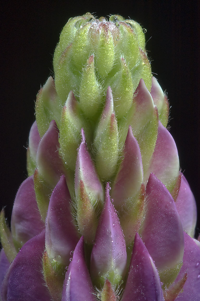 Flower bud of blue lupin along railroad in Lembolovo, north from St.Petersburg, Russia