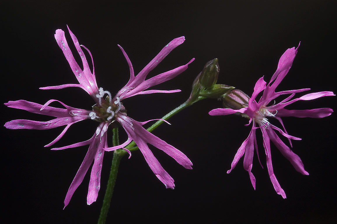 Marsh gilliflower (Ragged Robin, Coccyganthe flos...north from St.Petersburg. Russia
