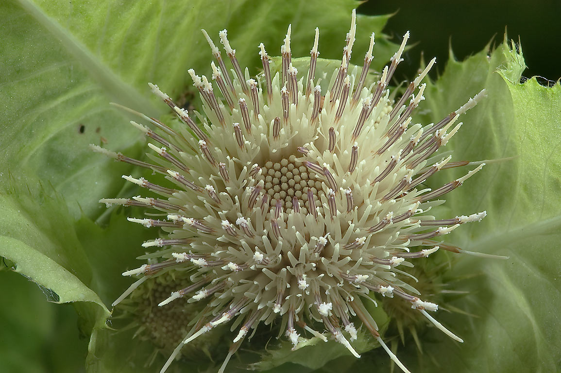 Immature flower head of Cabbage thistle (Cirsium...a suburb of St.Petersburg. Russia