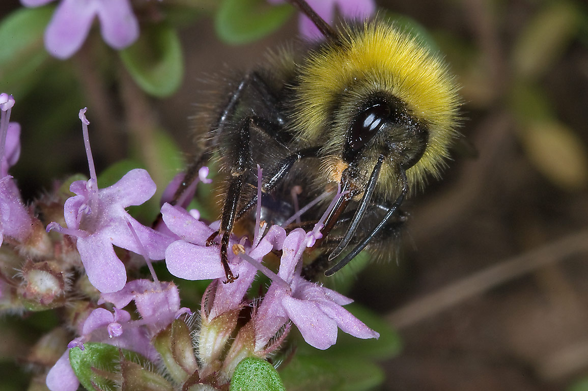 Bumblebee on flowers of wild thyme (Thymus...north from St.Petersburg. Russia