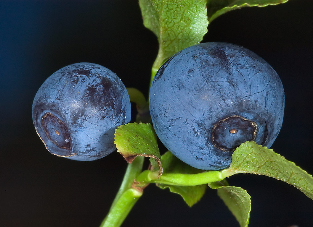 Fruits of common blueberry (Vaccinium myrtillus...north from St.Petersburg. Russia