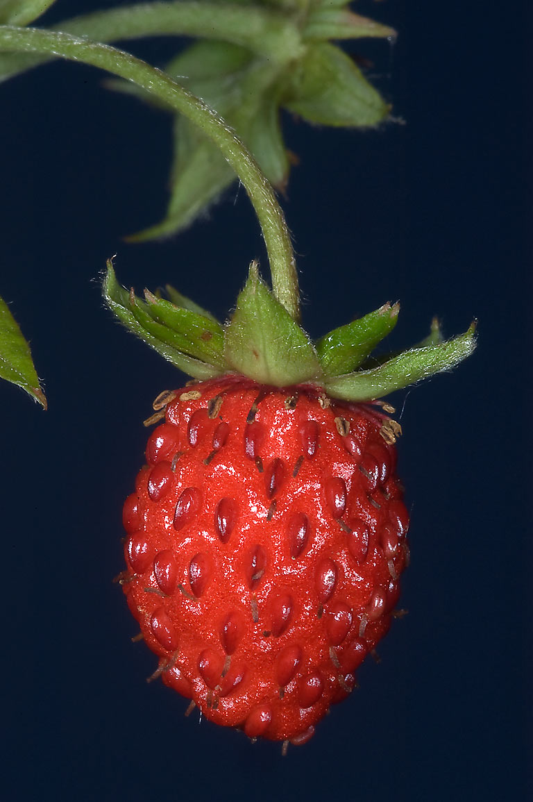 Fruit of Wild Strawberry (Fragaria, Russian name...north from St.Petersburg. Russia