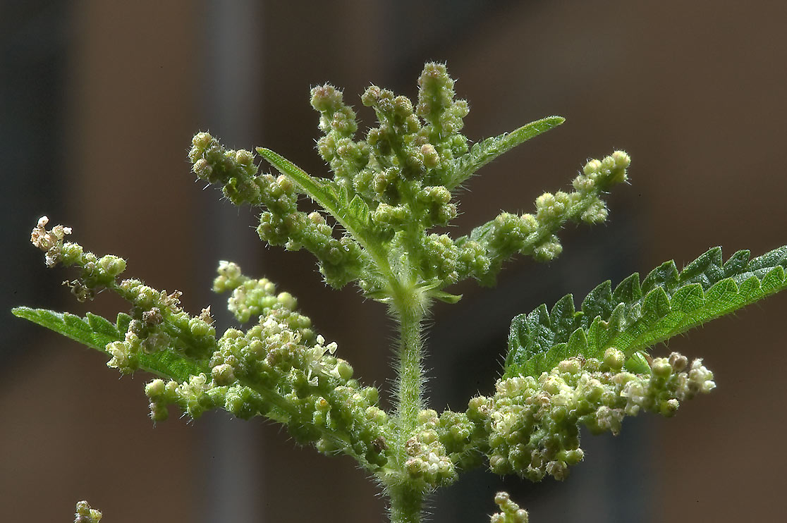 Stinging nettle (Urtica dioica, Russian name...Institute. St.Petersburg, Russia