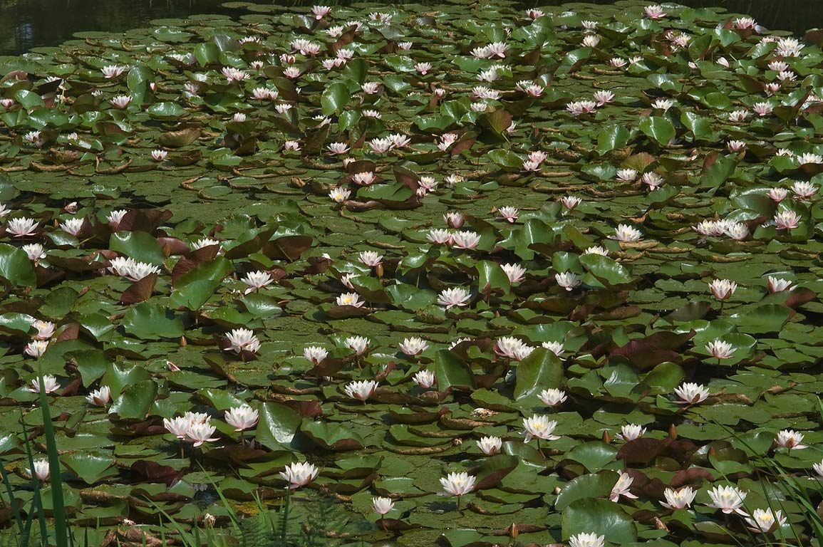 Water lilies in a pond in Botanic Gardens of...Institute. St.Petersburg, Russia