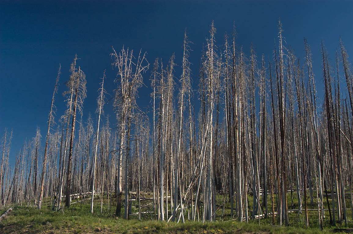 Forest at East entrance of Yellowstone Park. Wyoming