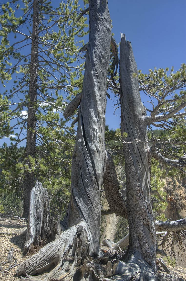 Dry trees near a lookout in Canyon Village. Yellowstone Park, Wyoming