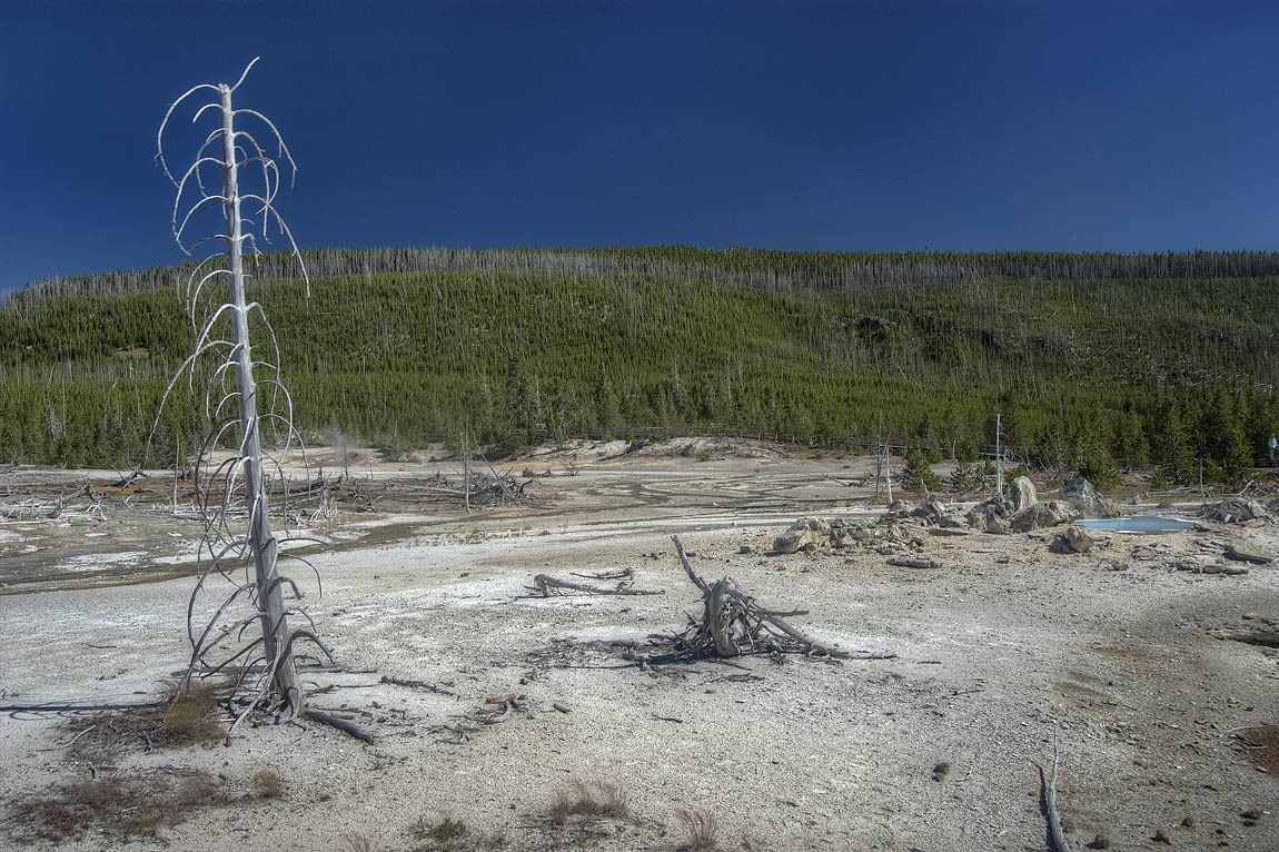 Dead trees in are of calcium carbonate deposit in...Basin. Yellowstone Park, Wyoming