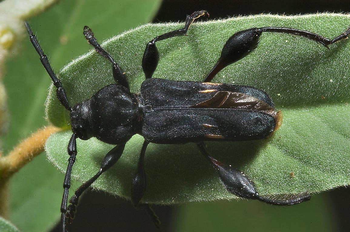 Black beetle on a leaf of woolly croton in Lick Creek Park. College Station, Texas