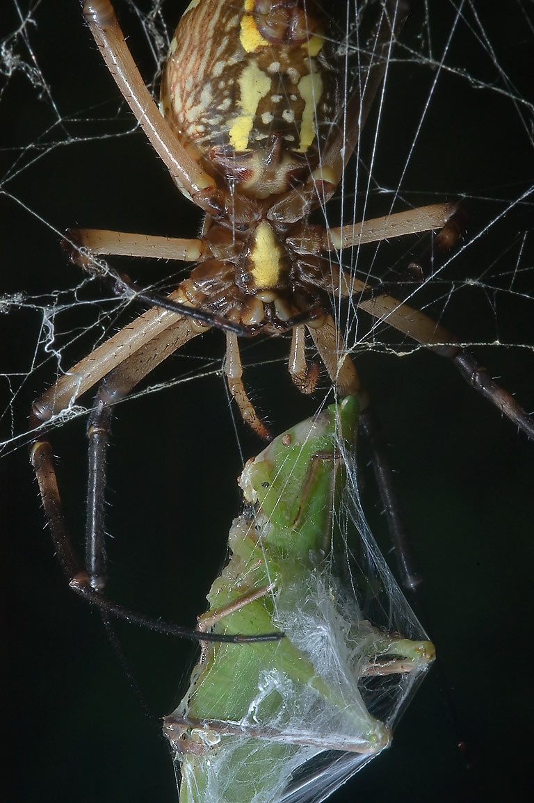 Yellow garden spider (Argiope aurantia) with a...in Lake Bryan Park. Bryan, Texas
