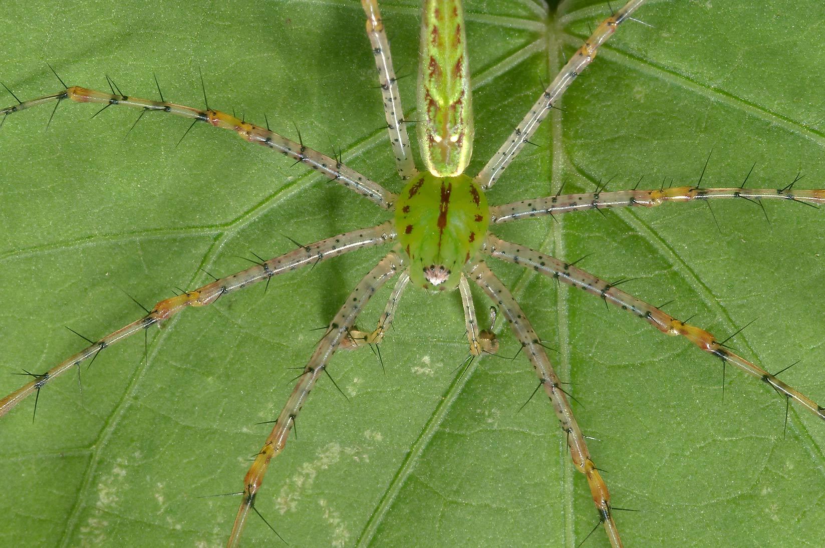 Green lynx spider in TAMU Holistic Garden in Texas A&M University ... Green Garden Spider