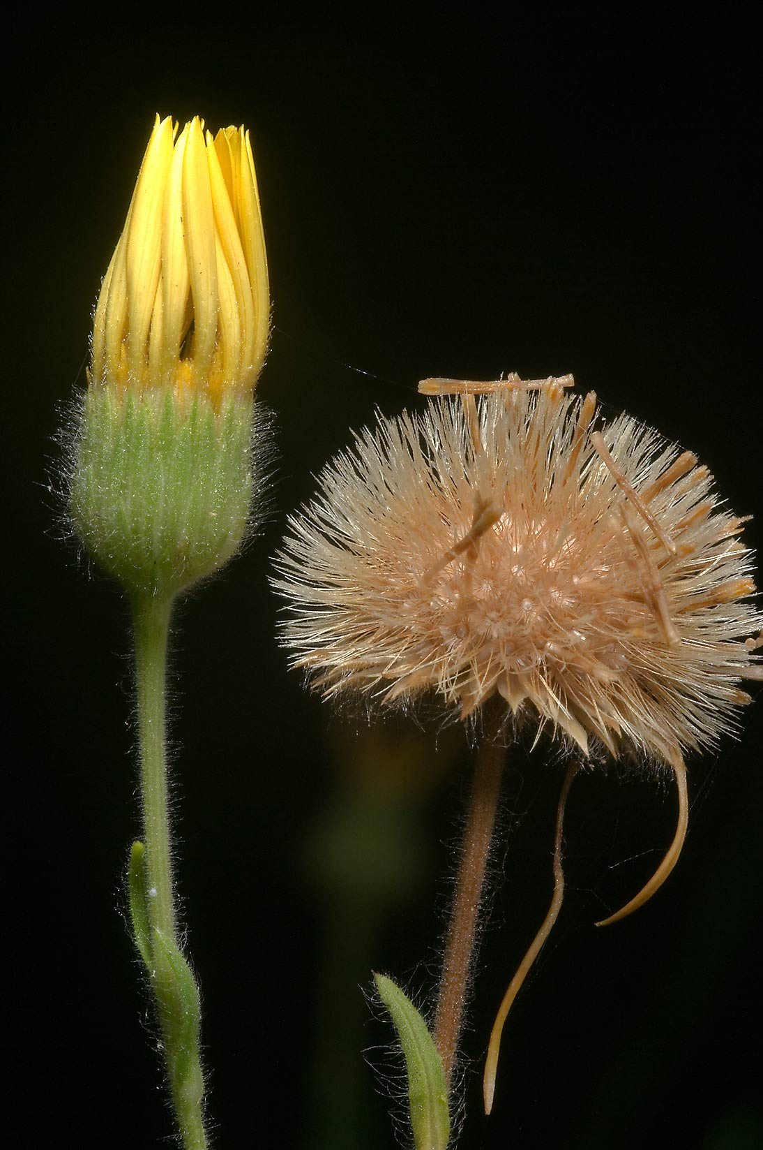 Closed flower and a seed head of soft golden...Creek Park. College Station, Texas