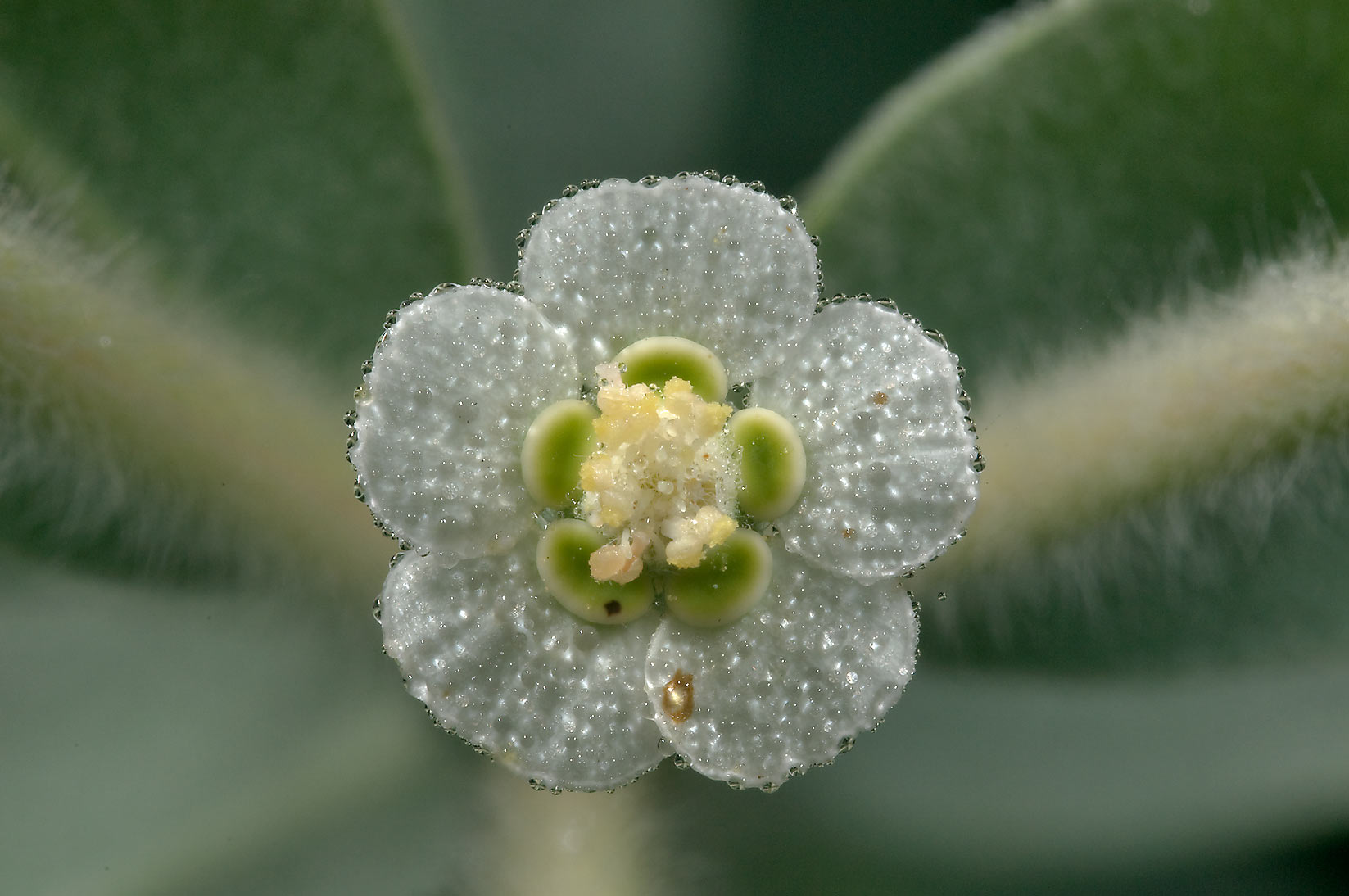 Flower of Snow-on-the-prairie (Euphorbia bicolor...State Historic Site. Washington, Texas