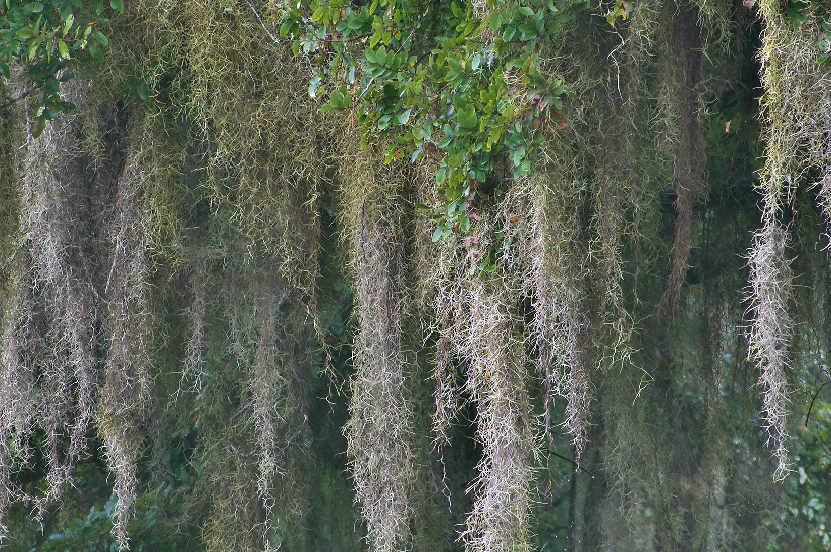 Spanish moss near Horseshoe Lake in Brazos Bend State Park. Needville, Texas