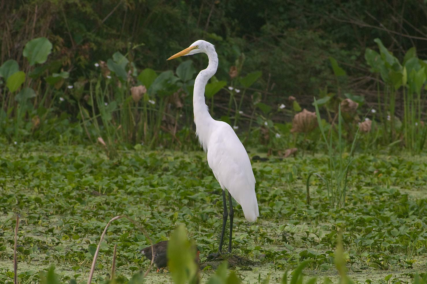 Great white egret (Ardea alba) from Spillway...Bend State Park. Needville, Texas