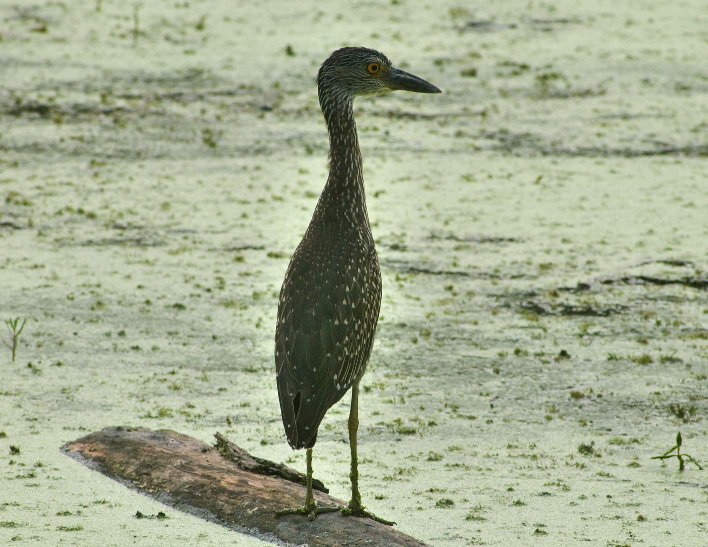 Juvenile yellow-crowned night heron bird on west...Bend State Park. Needville, Texas