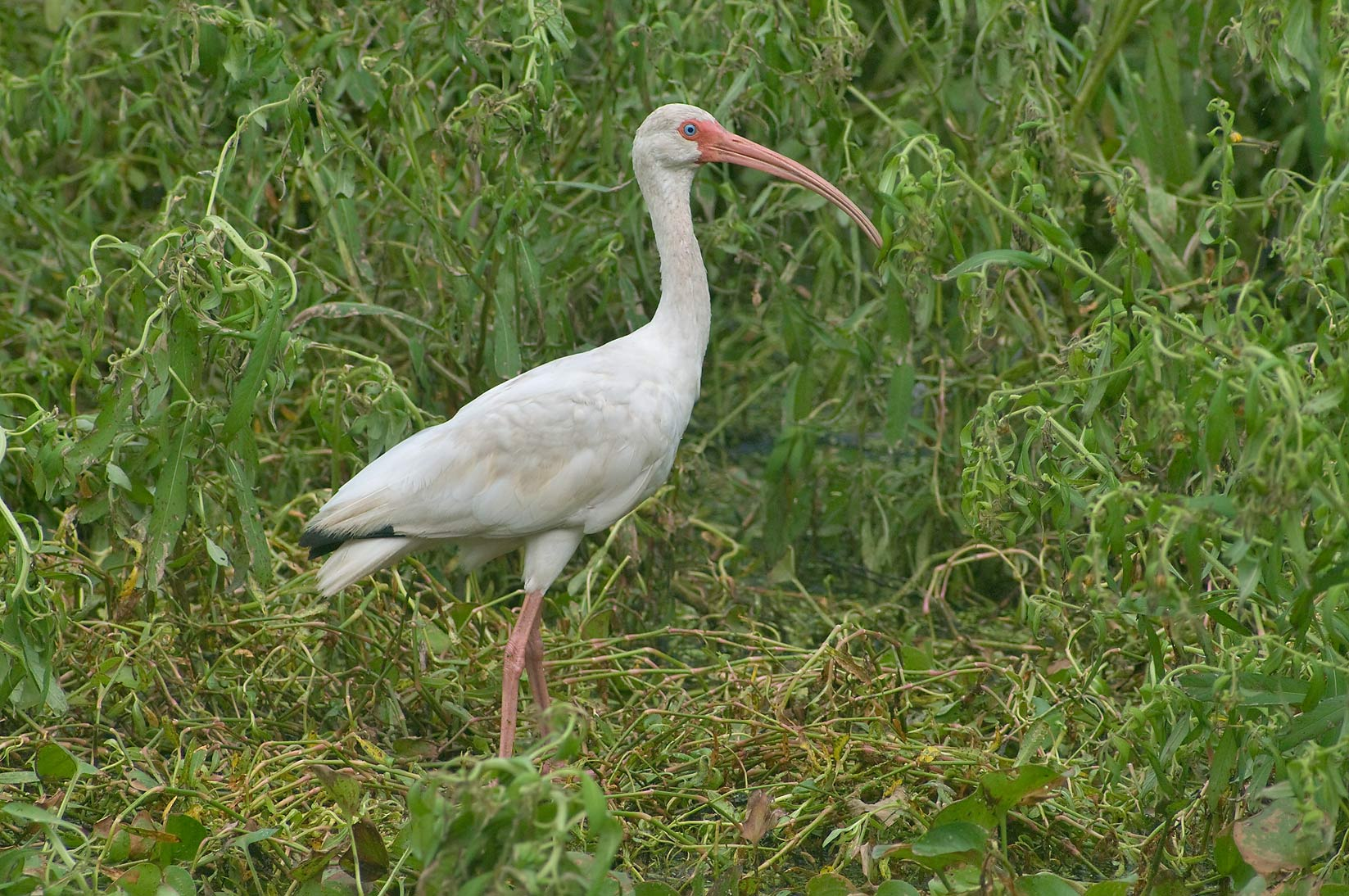 white bird with long beak search in pictures