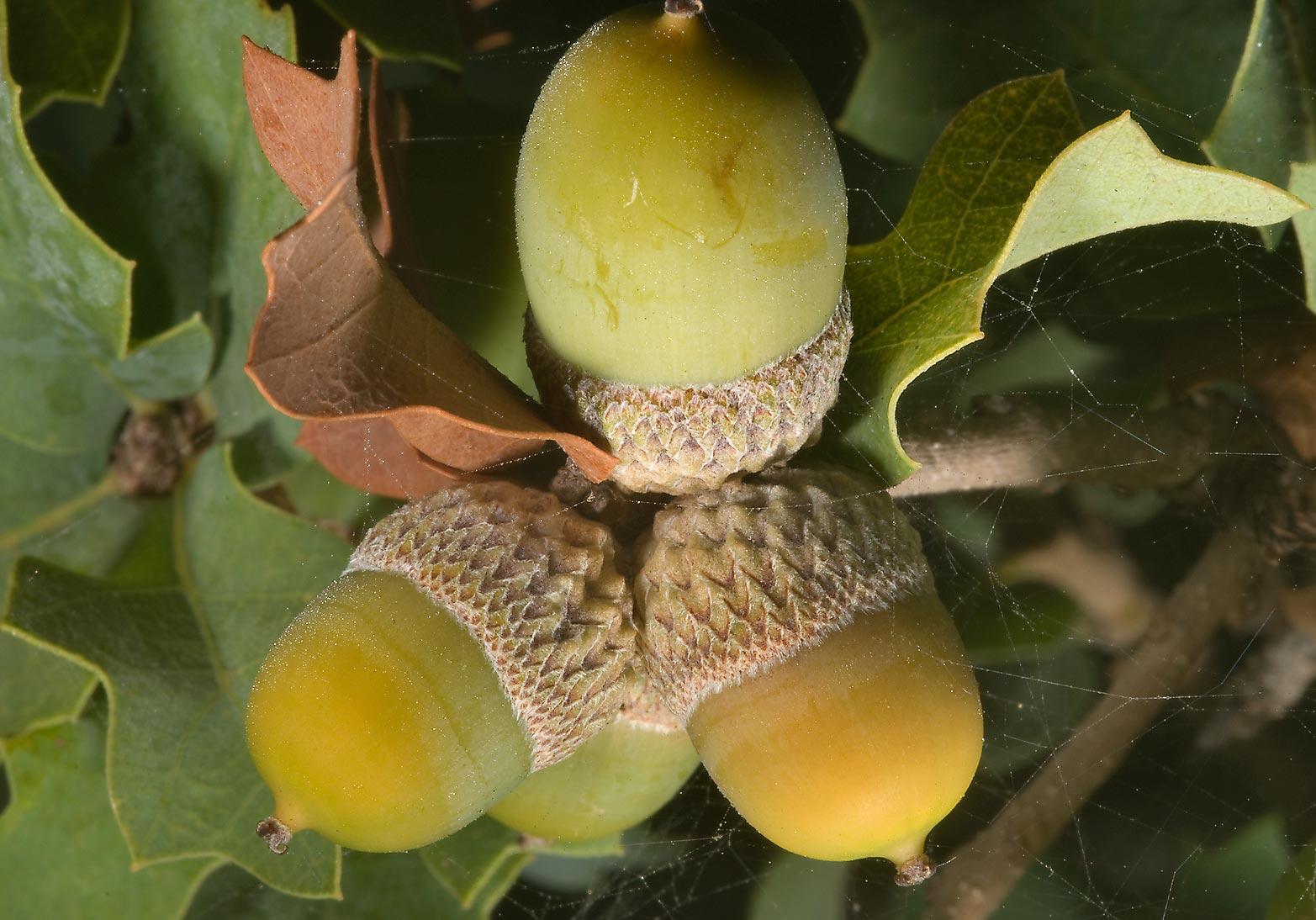 Desert oak (Quercus palmeri) with acorns in TAMU...M University. College Station, Texas